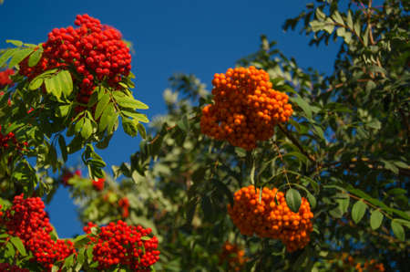 eberesche: Bright red ripe Herbst