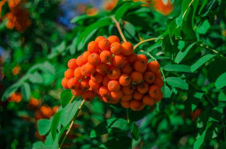 eberesche: Bright red ripe rowan autumn Lizenzfreie Bilder