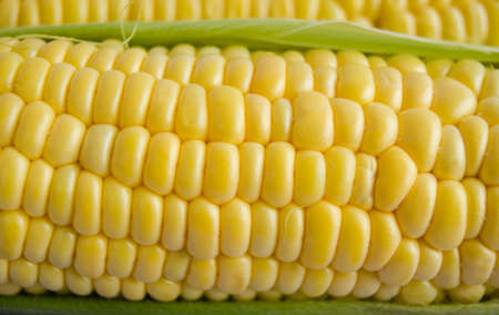 maize cultivation: Corn seeds close up in bright daylight