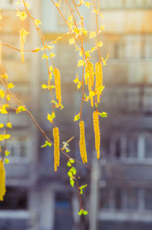 Birch catkins in the morning spring sunshine