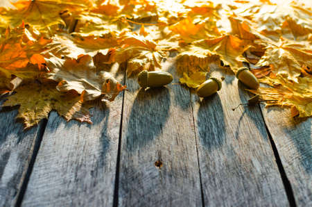 Fallen autumn maple, oak and towering mountain ash leaves on old wooden floor lit by the morning sun