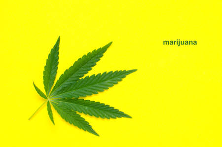 Hemp leaf, marijuana on yellow background close up.