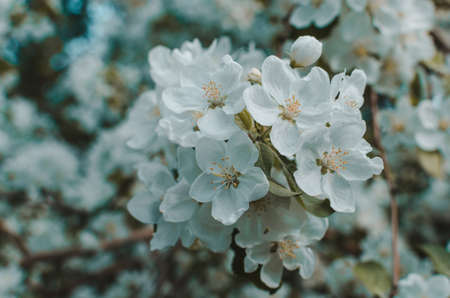 Flowers of Apple blossom. Background of white, beautiful and spring plants.