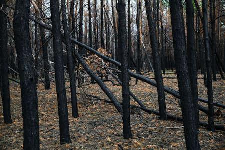 Burned pine forest, fallen burned tree after the fire Reklamní fotografie