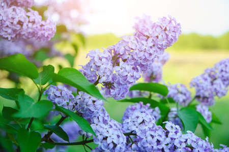 Lilac flowers at sunset in the warm rays of the sun Фото со стока