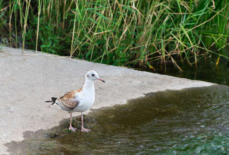 Seagull chick is fishing on the river bank