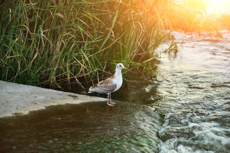 Seagull Gulls fishing on the river bank at sunset