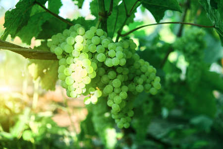 Aunch of grapes on a bright Sunny day.Kishmish grape variety