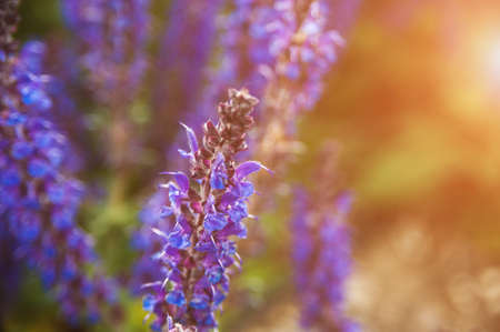 lavendin: Lavender flowers in macro photography at sunset light
