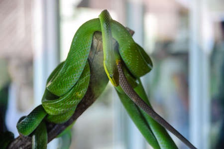 limbless: green snake on a tree. Snake farm in Thailand.