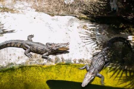 Two crocodiles bask in the sun. Crocodile farm, Thailand.
