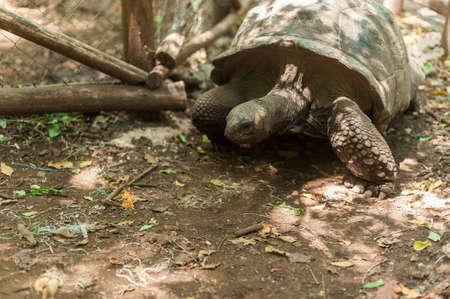 Giant Seychelles turtle in the Park on the island of Prizon, Zanzibar, Tanzania.