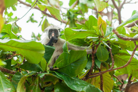 Red colobus at the time of the meal on the tree. The island of Zanzibar, Tanzania Фото со стока