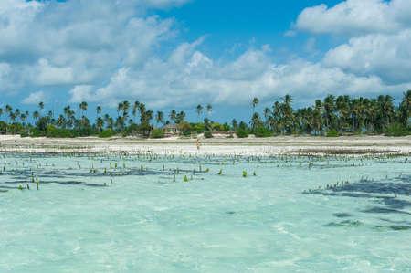 Algae farm in the ocean. Clear turquoise water on the beach of Jambiani island of Zanzibar.