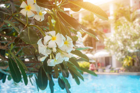 Plumeria flowers on the background of the pool. The rays of the sun gilded the beautiful frangipani tree