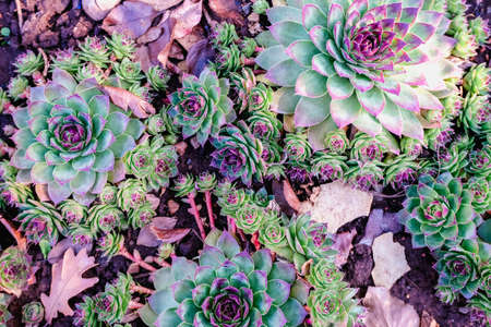 Succulents in the flower bed. A trend in the flora world. Mint and neon colors on plants