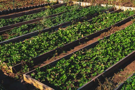 Beds with strawberry seedlings. Preparation for winter and care of plants Banco de Imagens