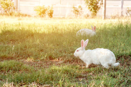 White hare walks on a green lawn