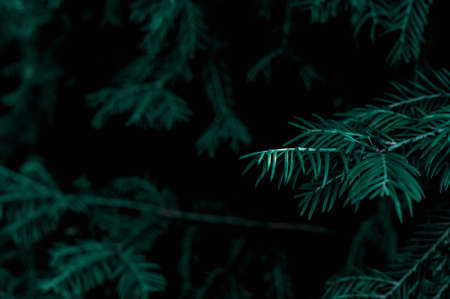 Blue spruce branch on a dark background. Texture and details of the plant. Standard-Bild - 133190345