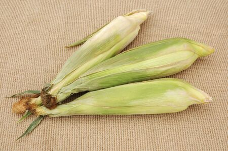 A trio of raw unshucked corn on burlap cloth