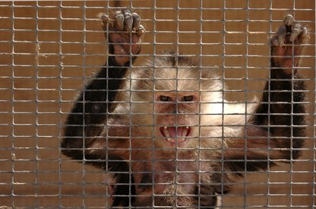 An angry capuchin monkey in a cage bears his teeth in anger.
