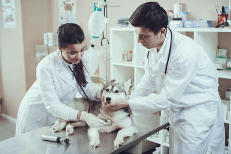 Two experienced veterinarians examine husky.