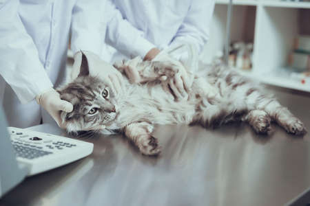 Sick cat lies on the table in veterinary clinic. 写真素材