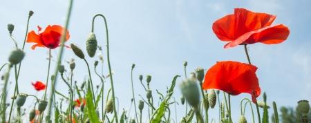 paysage: Fleurs - Coquelicots