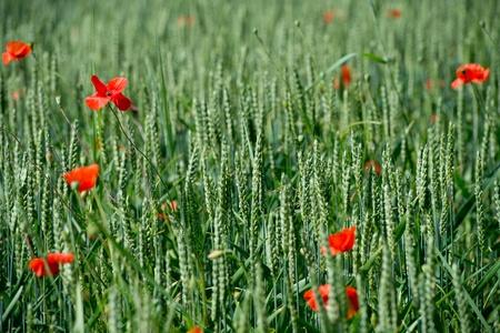 bl: Fleurs - Coquelicots - Bl Stock Photo
