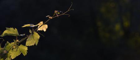 Vineyard Sunrise - Bordeaux Vineyard 写真素材