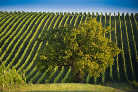 Vineyard Sunrise - Bordeaux Vineyard Stock Photo