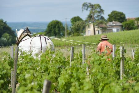 Labour Vineyard with a draft white horse-Saint-Emilion-France Stock Photo