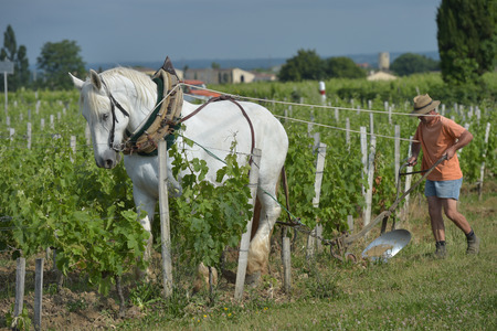 Labour Vineyard with a draft white horse-Saint-Emilion-France Stock Photo