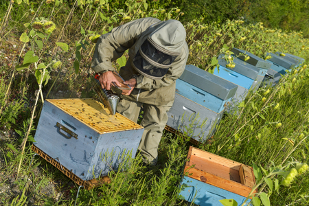 mature women only: Bee Keeper Working with Bee Hives in a sunflower field