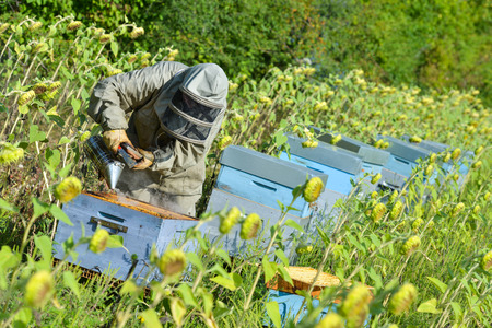 only women: Bee Keeper Working with Bee Hives in a sunflower field