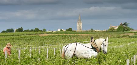 draft: Labour Vineyard with a draft white horse-Saint-Emilion-France Stock Photo