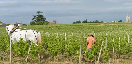 saint emilion: Labour Vineyard with a draft white horse-Saint-Emilion-France Stock Photo