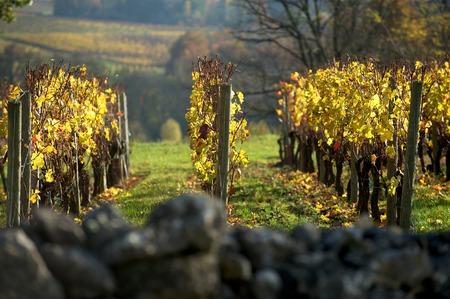 saint emilion: Vineyard in autumn Saint Emilion, Bordeaux France