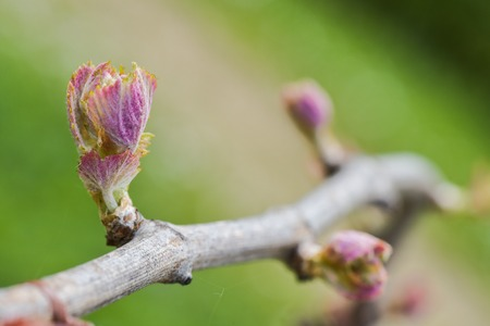 New growth budding out from grapevine Vineyard.