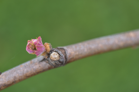 budding: New growth budding out from grapevine Vineyard.