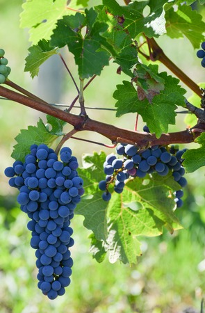 purple red grapes: Purple red grapes with green leaves on the vine. fresh fruits