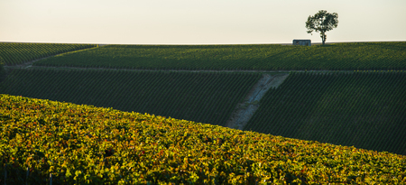 single whip: Champagne vineyards in the Cote des Bar area of the Aube department, Champagne-Ardennes, France, Europe