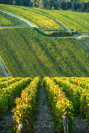 quoted: Champagne vineyards in the Cote des Bar area of the Aube department, Champagne-Ardennes, France, Europe