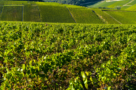 campagne: Champagne vineyards in the Cote des Bar area of the Aube department near to Les Riceys, Champagne-Ardennes, France, Europe Stock Photo