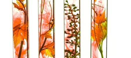 oenology: Oenology, young vine shoots in red test tubes, Research Laboratory Stock Photo