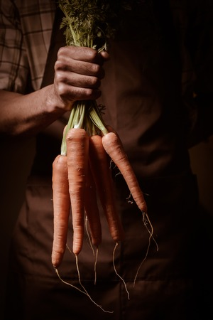 Organic fruit and vegetables. Farmers hands with freshly harvested carrots., brown apron Stock Photo
