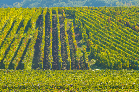 single whip: Champagne vineyards Villedomange in Marne department, Champagne-Ardennes, France, Europe