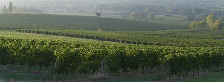 vineyard at sunset: Vineyard Sunset Sunrise Bordeaux Vineyard France Europe