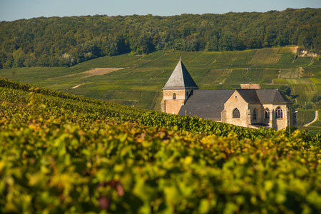 single whip: Champagne vineyards Chavot Courcourt in Marne department, France Europe