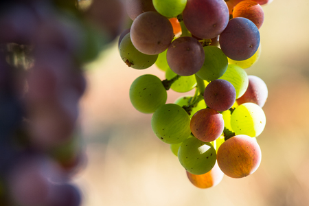 growers: Grapes changing color during veraison, Bordeaux Wineyard Stock Photo